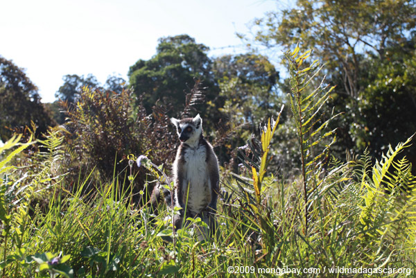 Ring-tailed lemur (Lemur catta) standing on its hind legs