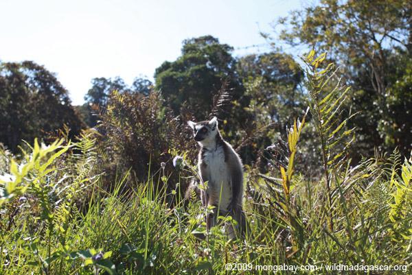 Ring-tailed lemur on patrol