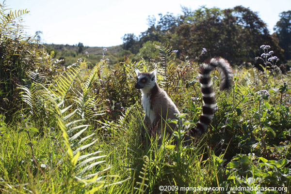 Ring-tail lemur (Lemur catta)