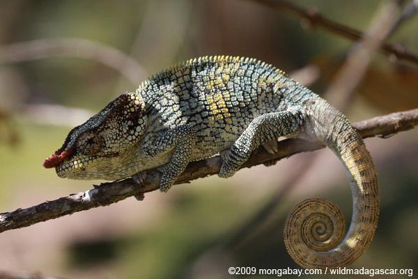 Male Elephant-eared Chameleon (Calumna brevicorne)
