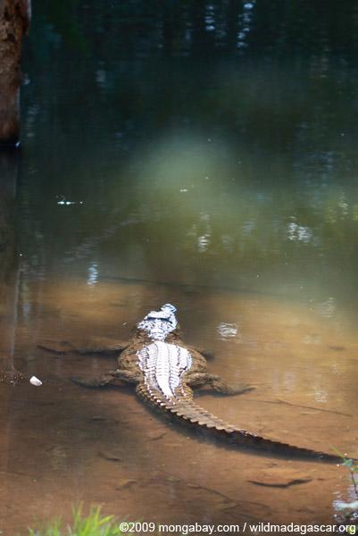 Madagascar crocodile (Crocodylus niloticus)