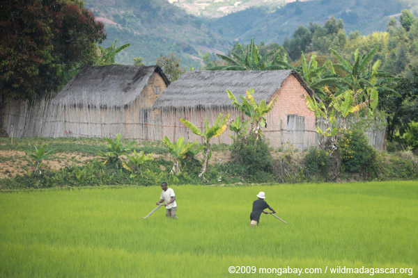 Rice cultivation in Madagascar