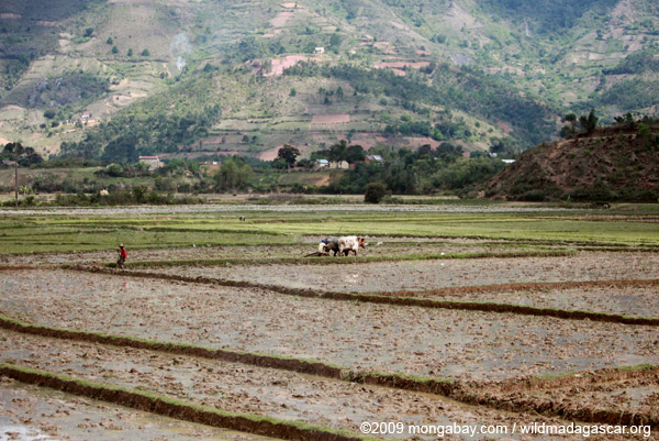 Working rice fields in Madagascar