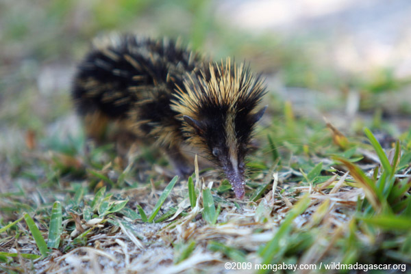 Another hunted species: lowland streaked tenrec. Photo by: Rhett A. Butler.