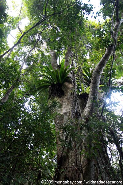 Birdnest fern and rainforest canopy on Nosy Mangabe