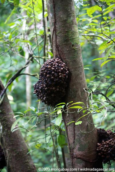 Rainforest figs