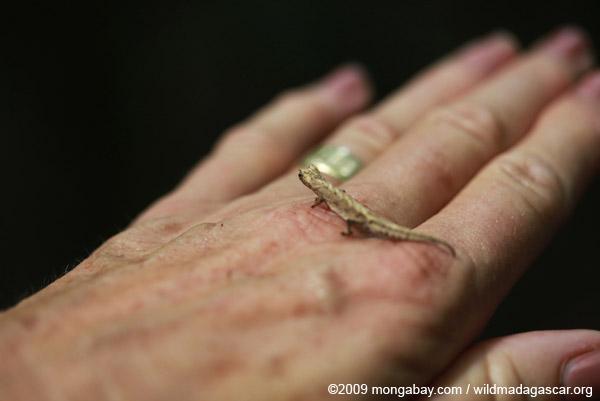 Peyrieras' Pygmy Chameleon (Brookesia peyrierasi) on a woman's hand