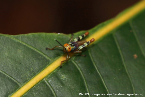 Multicolored grasshopper with orrange eyes
