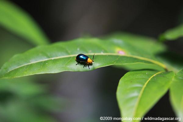 Orange and blue beetle