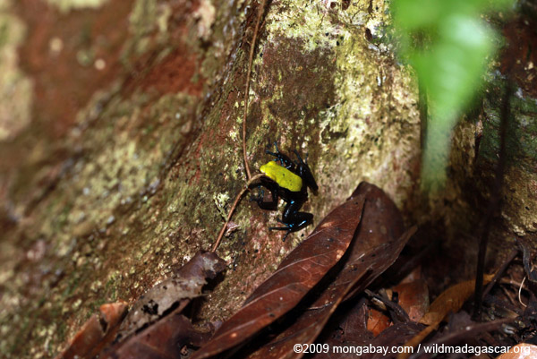 Green-backed mantella frog (Mantella laevigata)