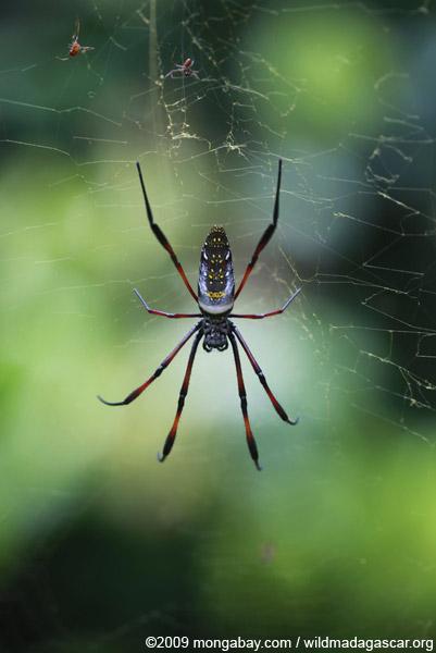 Nephila madagascariensis orb weaving spider