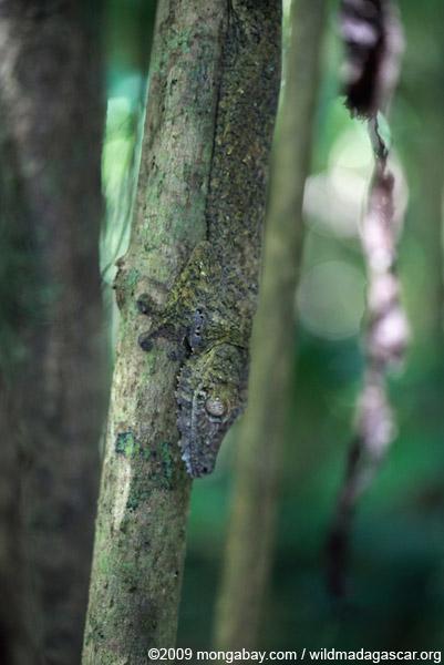 Giant Leaf-tail Gecko (Uroplatus fimbriatus)