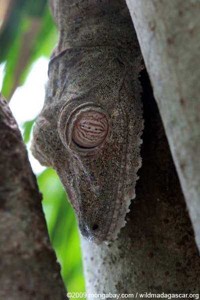 Gecko eye
