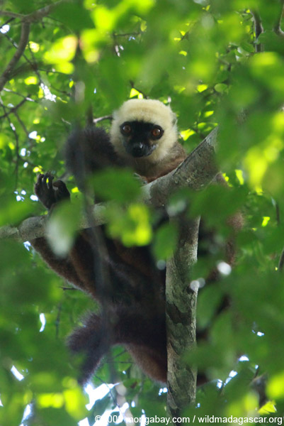 Male White-Fronted Brown Lemur (Eulemur albifrons)