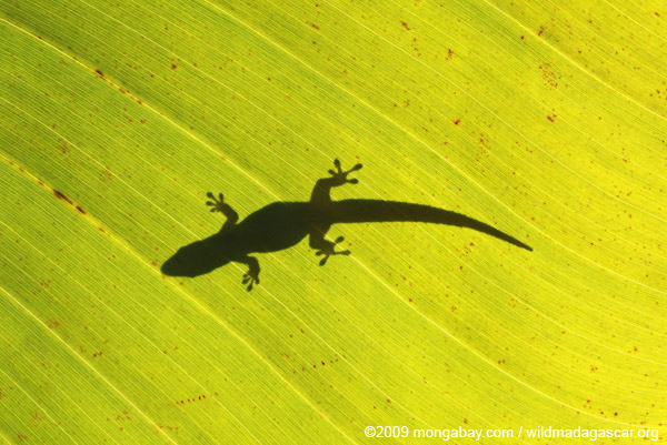 Silhouette of a lizard on a sunlit leaf