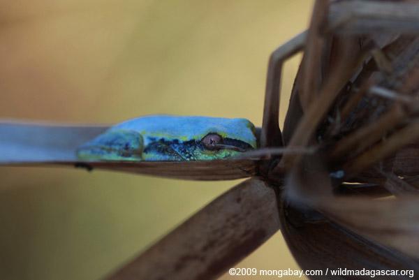 Blue and yellow Madagascar Reed Frog (Heterixalus madagascariensis)