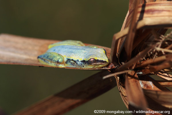 Blue and yellow Madagascar Reed Frog (Heterixalus madagascariensis)