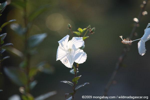 Ehite hibiscus