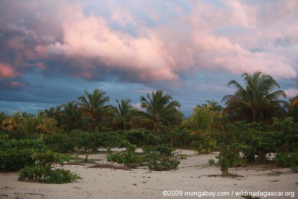 Beach palms at sunrise