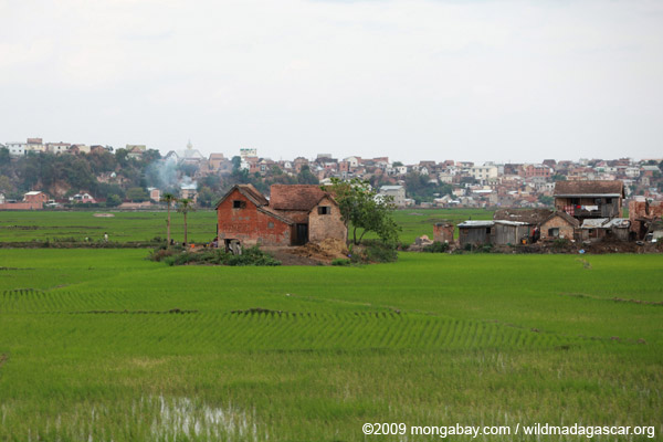 Rice fields in Tana