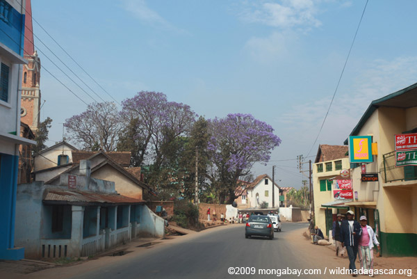 Jacaranda trees in Tana
