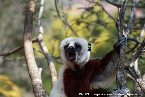 Yawning Coquerel's sifaka