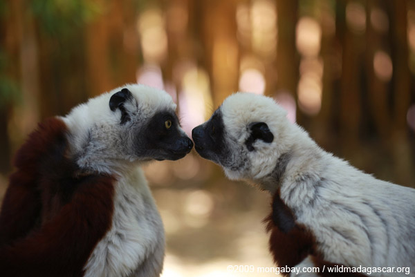  Coquerel's sifakas kissing. The Madagascar film series helped raise the profile of many of the island's unique species, including lemurs. Photo by: Rhett A. Butler.
