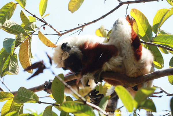 Coquerel's Sifaka (Propithecus coquereli) scent-marking