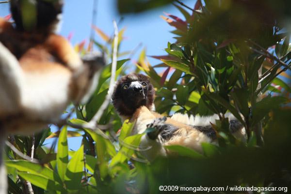 Crowned Sifaka (Propithecus coronatus)