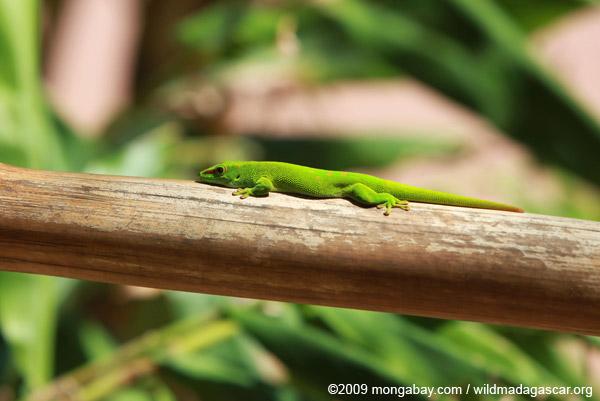 Giant day gecko (Phelsuma madagascariensis grandis)