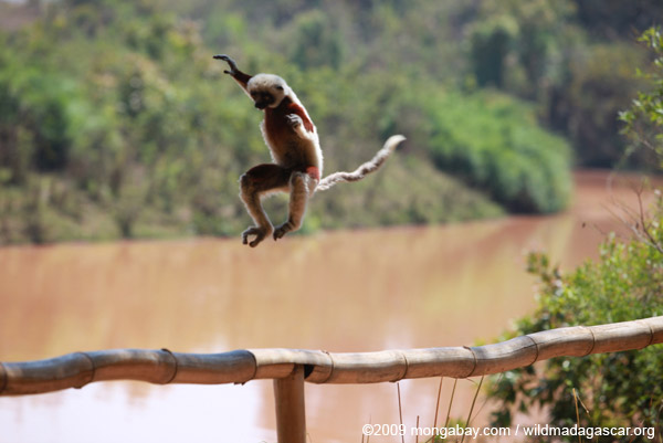 Coquerel's Sifaka jumping
