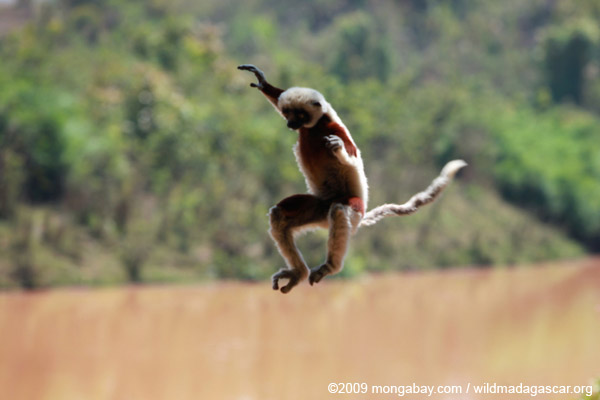 Coquerel's Sifaka taking flight