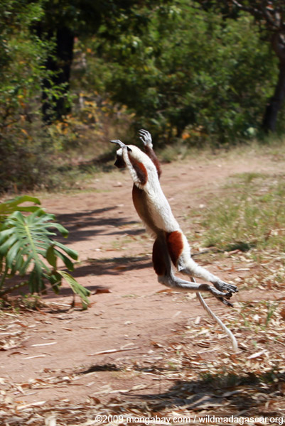 Coquerel's Sifaka dancing across a clearing