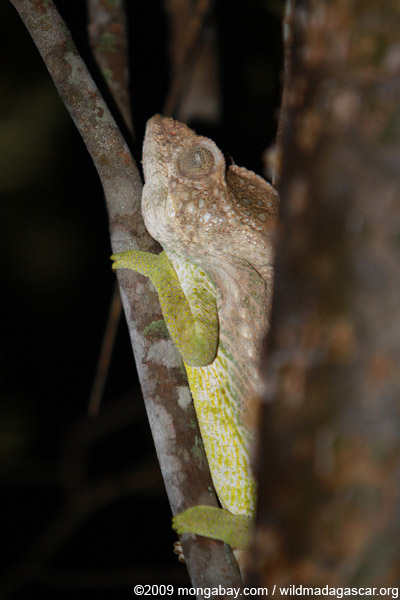 Warty chameleon (Furcifer verrucosus) sleeping