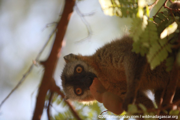 Red-fronted brown lemur feeding on tamarind