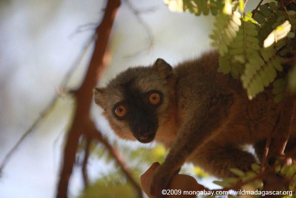 Red-fronted brown lemur feeding on tamarind