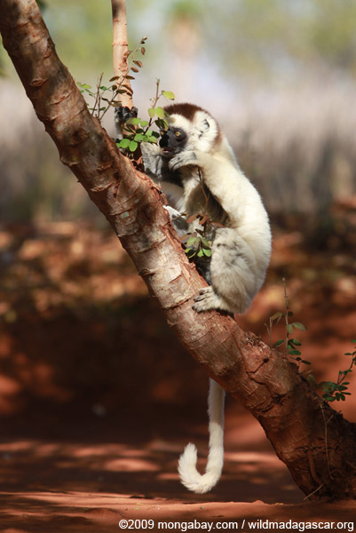 Verreaux's Sifaka feeding