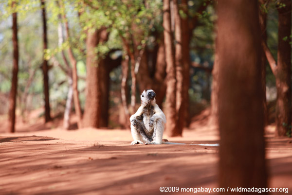 Verreaux's Sifaka resting on the ground