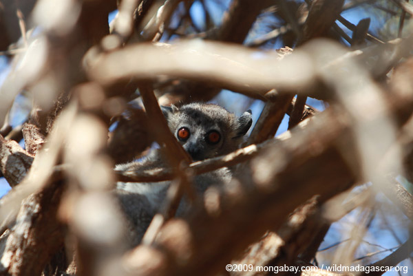 White-footed Weasel Lemur (Lepilemur leucopus) in a spiny Alluaudia procera plant