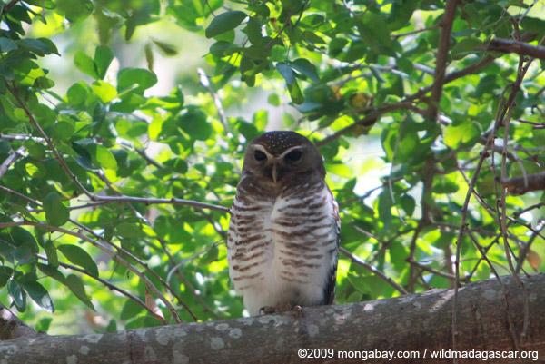 White-browed Owl (Ninox superciliaris)