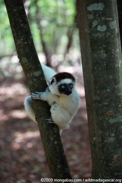 Verreaux's Sifaka (Propithecus verreauxi) on the lookout. This lemur is listed as Vulnerable on the IUCN Red List. Photo by: Rhett A. Butler.