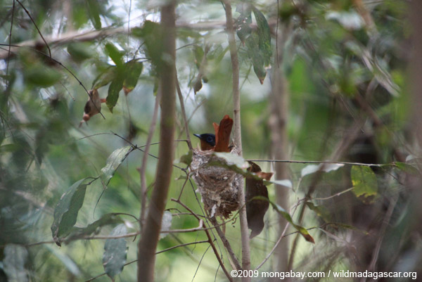 Female Madagascar Paradise-flycatcher (Terpsiphone mutata) in its nest