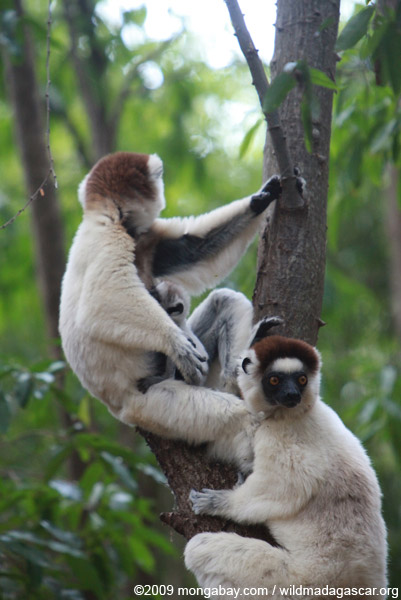 Baby Verreaux's Sifaka (Propithecus verreauxi) nursing with its mother
