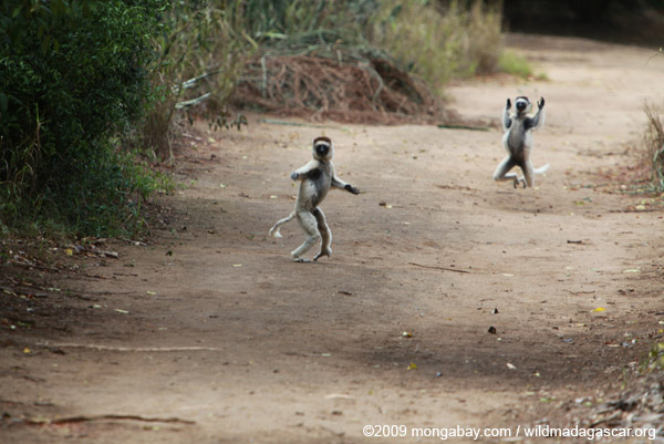 Heated chase between a pair of Verreaux's Sifaka (Propithecus verreauxi)