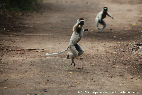 Verreaux's Sifaka (Propithecus verreauxi), listed as Vulnerable, in a heated chase. Photo by: Rhett A. Butler.