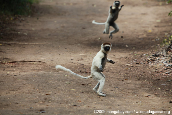 Verreaux's Sifaka (Propithecus verreauxi) in a territorial chase