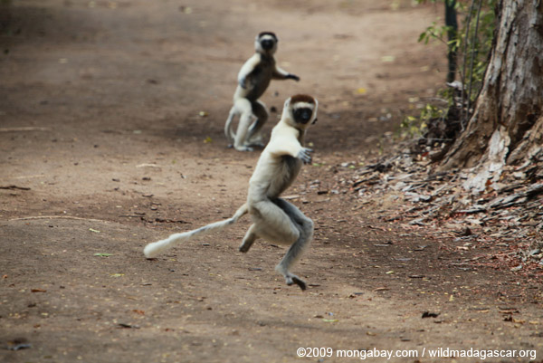 Verreaux's Sifaka (Propithecus verreauxi) in a fight over territory