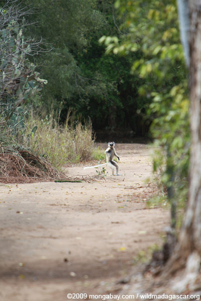 Heated territorial chase between a pair of Verreaux's Sifaka (Propithecus verreauxi)