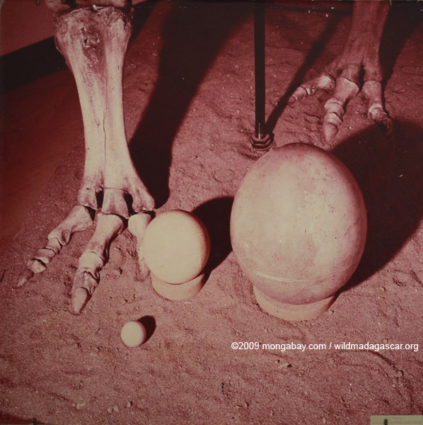 Size comparison between the eggs of an elephant bird, ostrich, and chicken; original photo by Jacques Hannebicque