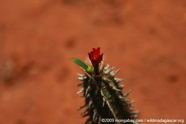 Red flower on an invasive cactus in Madagascar